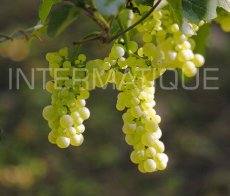 riesling1_12164_fr